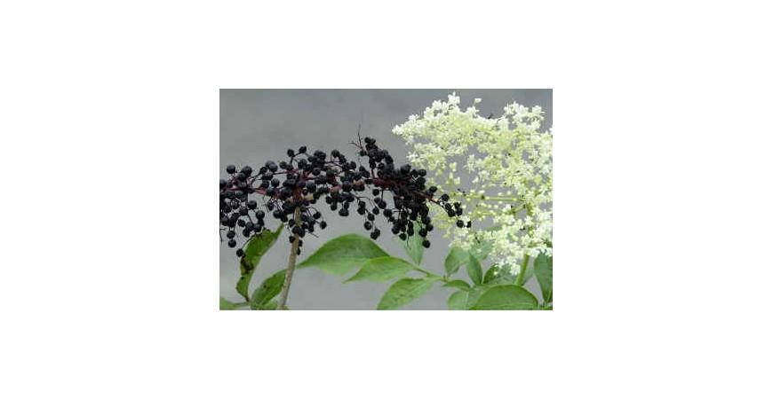 Poznávame bylinky - BAZA ČIERNA