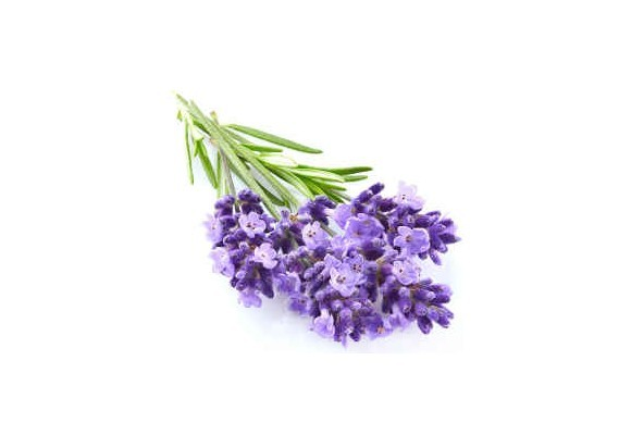 Poznávame bylinky - levanduľa