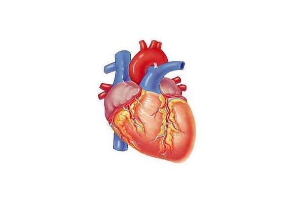 Srdce - vládca všetkých orgánov