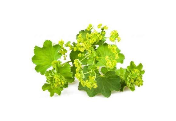 Poznávame bylinky - Alchemilka