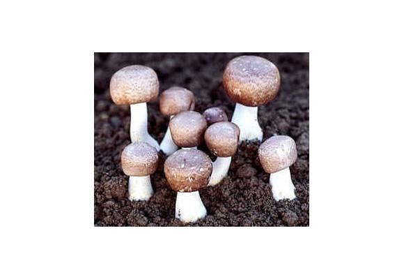 Liečivé huby - Agaricus (šampiňón)