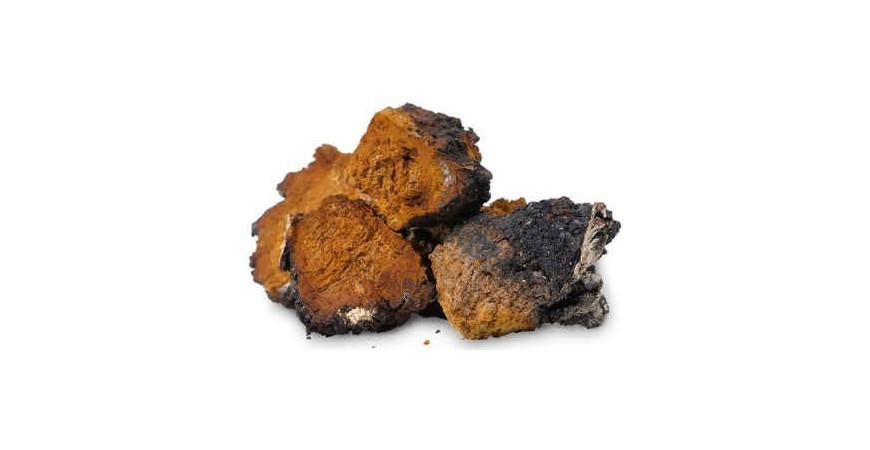 Liečivé huby - chaga - čaga (ryšavec šikmý)
